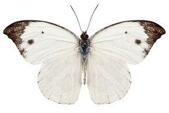 Butterfly species Pieris rapae Stock Images