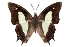 Butterfly species Polyura athamas athamas Royalty Free Stock Photo