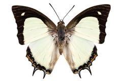 Butterfly species Polyura jalysus Stock Photo