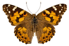 Butterfly species Vanessa cardui Stock Photography
