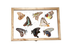 Butterfly specimen. Butterflies in a insect specimen box Royalty Free Stock Photography