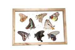 Butterfly specimen Royalty Free Stock Photography