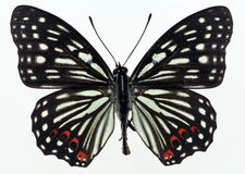 Butterfly in specimen box Royalty Free Stock Photo