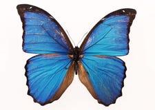 Butterfly in specimen box Stock Photo
