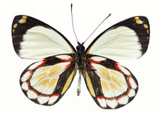 Butterfly in specimen box Royalty Free Stock Images