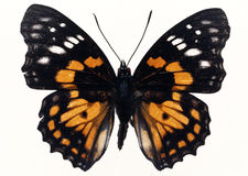 Butterfly in specimen box Stock Photography