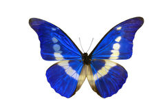 Butterfly specimen. The close-up of a beautiful butterfly specimen. Scientific name: Morpho Helena Stock Image