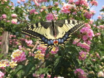 Specimen of butterfly Swallowtail machaon Stock Photography