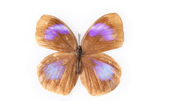 Butterfly specimens Royalty Free Stock Photography