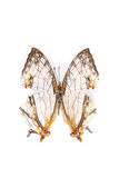 Butterfly specimens. A map butterfly in the white background stock photos