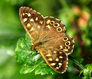 Butterfly Speckled Wood - Pararge Aegeria Stock Photography