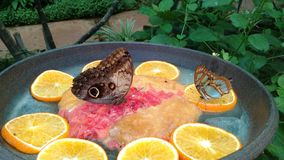 Butterfly. A spectacular scene of two butterfly on orange slices stock images