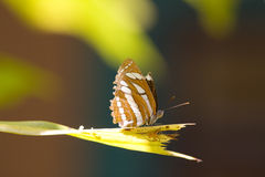Butterfly and a Spider. Occupy opposite sides of a leaf Royalty Free Stock Images