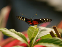 Butterfly spotted Royalty Free Stock Photos