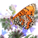 Butterfly - Spotted Fritillary (Melitaea didyma) Stock Photography