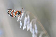 Butterfly - Spotted Fritillary (Melitaea didyma) Royalty Free Stock Photos