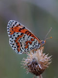 Butterfly - Spotted Fritillary (Melitaea didyma) Stock Photo