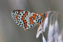 Butterfly - Spotted Fritillary (Melitaea didyma) Stock Images