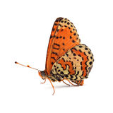 Butterfly - Spotted Fritillary (Melitaea didyma) on white Stock Images