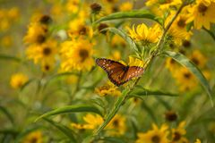 Butterfly with spread wings. Butterfly on branch with yellow flowers and green leaves stock image