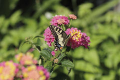 Butterfly in spring. A butterfly feeding on a flower stock image