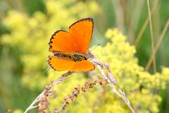 Butterfly on a spring meadow. Royalty Free Stock Image