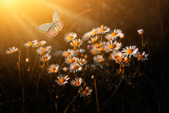 Butterfly the spring meadow. And daisy flowers morning lights Royalty Free Stock Images