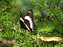 Butterfly in Spruce tree. Black and white butterfly resting on the branch of a Spruce tree stock photos