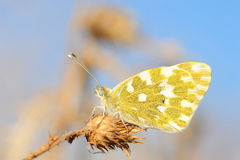 Butterfly standing on dry grass Stock Photos