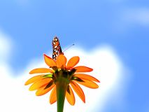 Butterfly standing on Mexican marigold flower. Beautiful butterfly standing on a Mexican marigold flower in a South Florida garden Stock Images