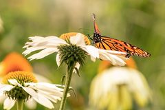 Butterfly standing in a white daisy. A monarch butterfly on a white flower during a sunny day with vibrant colors. Orange and black wing colors. Butterfly royalty free stock photography