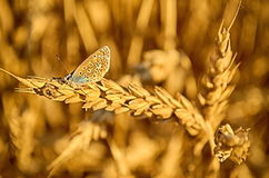 Butterfly stands on the grain Stock Photos