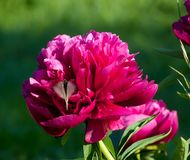 Butterfly starts from peony Royalty Free Stock Images