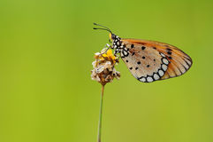 Butterfly. A butterfly stay on a flower Royalty Free Stock Photography