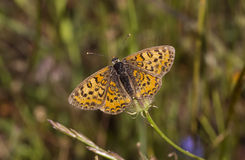 Butterfly On A Stem (Nymphalidae - Melitaea trivia) Stock Photo