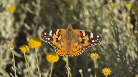 Butterfly On A Stem (Nymphalidae-Vanessa cardui) Stock Images
