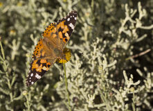 Butterfly On A Stem (Nymphalidae-Vanessa cardui) Royalty Free Stock Photos