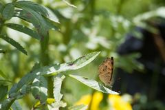 Butterfly with Stems and leaves Mexican marigold. Royalty Free Stock Image