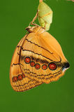 Butterfly ,Stichophthalma louisa,femal. It is femal, eclosion, yellow, pupa Royalty Free Stock Photography