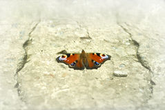 Butterfly on stone Stock Photography