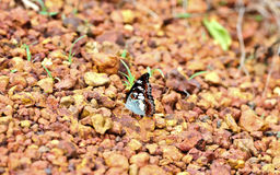 Butterfly on stone Royalty Free Stock Images