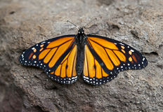Butterfly on the stone 1 Royalty Free Stock Photos