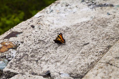 Butterfly on stone royalty free stock photography
