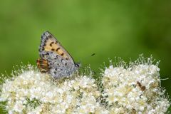 A Butterfly stops on some white flowers close up stock photography