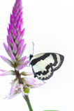 Butterfly (Straight Pierrot) isolated on white bac Royalty Free Stock Photos