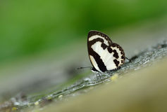 Butterfly (Straight Pierrot) , Thailand Stock Photos