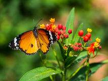 Butterfly with the straight wings, really nice moment here. The picture is in Chiangmai garden Stock Photos