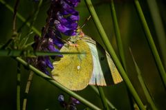 Butterfly on plant in summer sun. Butterfly on straw in summer sun royalty free stock image