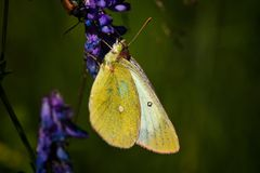 Butterfly on plant in summer sun. Butterfly on straw in summer sun stock images