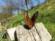 Butterfly on a stump. Royalty Free Stock Images